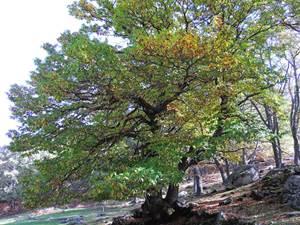 L'arbre de vie en Cévennes
