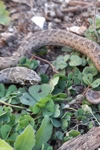 Les mal-aimés du bord de l'eau : les serpents