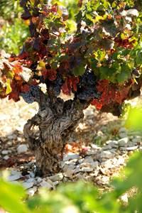 Balade vigne et vin à Cavillargues