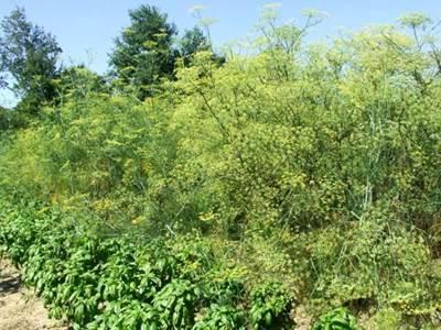 Secrets des plantes aromatiques et médicinales