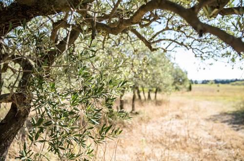 payage champs d'oliviers © OT Pont du Gard