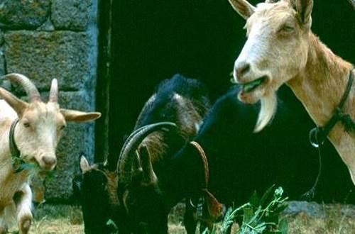 chèvres ©