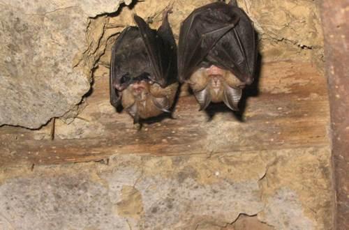 Chauves-souris dans les Gorges du gardon ©