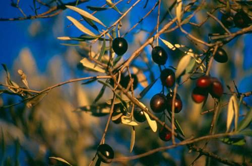 olives sur l'arbre ©