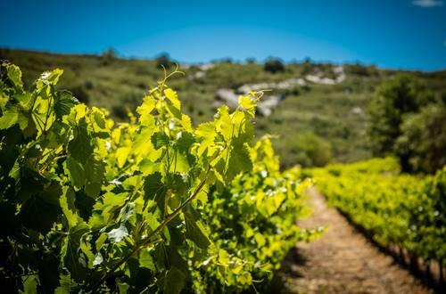 Vigne entouré de garrigues sur un terroir caillouteux © 2017-Hervé Leclair Asphéries-Sud de France Développement