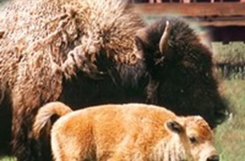Spectacle de tri du bétail Randals Bison ©