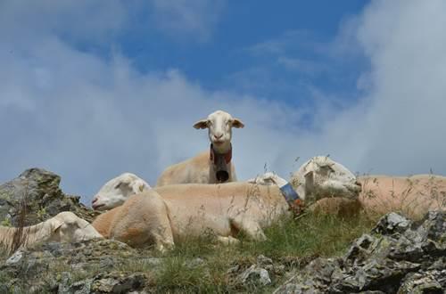 Mouton ©