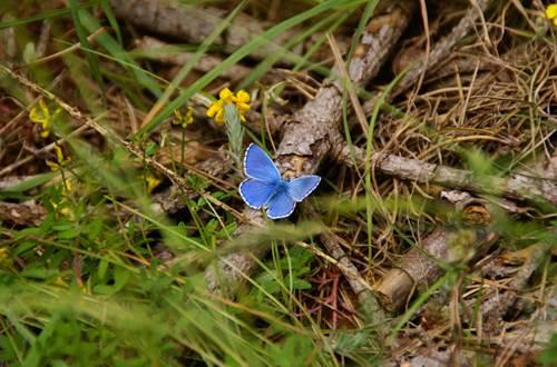 Papillon ©