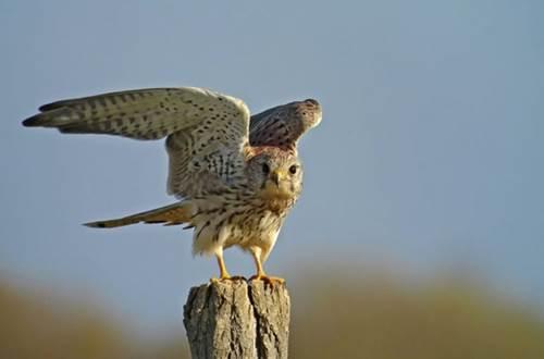 Faucon dans les Gorges du gardon ©
