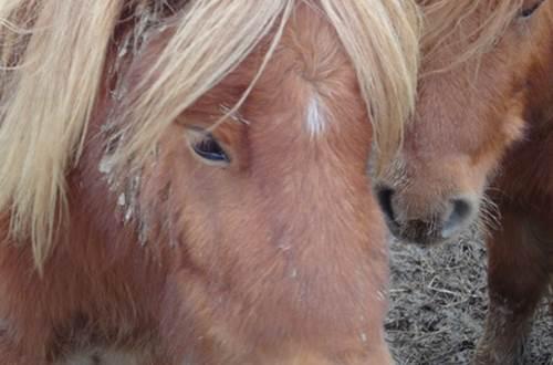 poney ©