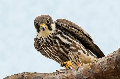 Oiseaux des Ripisylves © COGARD
