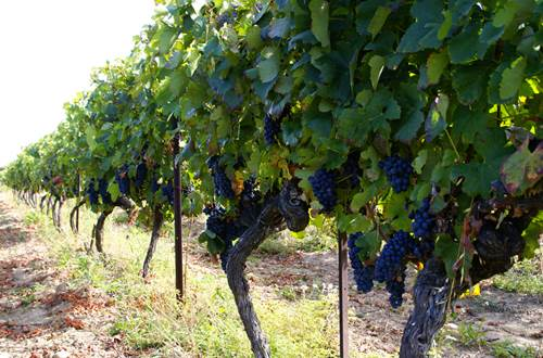 Rangées de vignes © St Paulet Vignobles