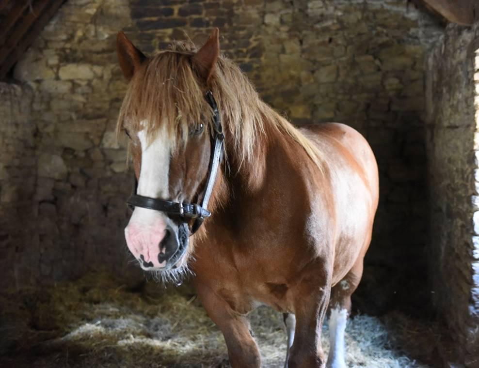 Danseur, cheval de trait Breton